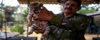 cachorro tigre méxico
